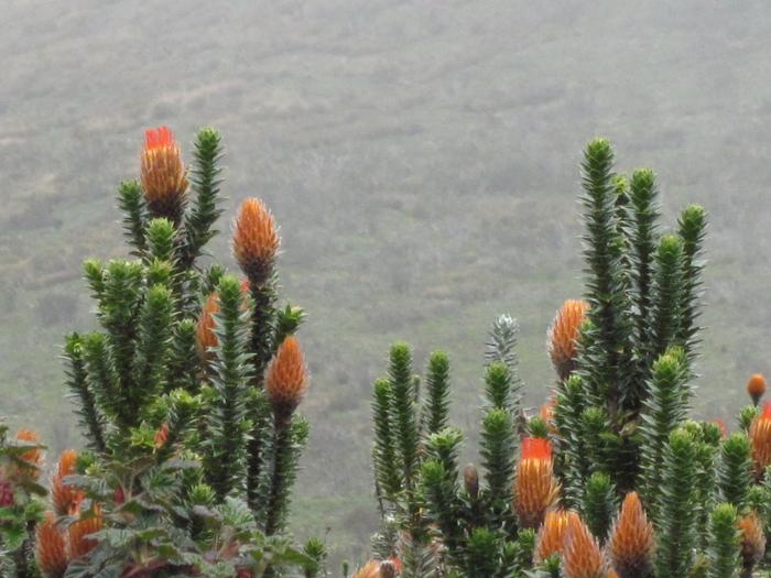 A chuquiragua plant, native to the paramo. Traditionally brought back by hikers to their significant others. PHOTO: BY DANI FORSHAY '11